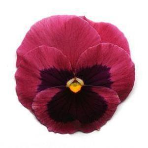 Pansy 'Matrix™ Rose Blotch'