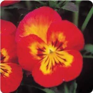 Pansy 'Ultima Radiance Red'