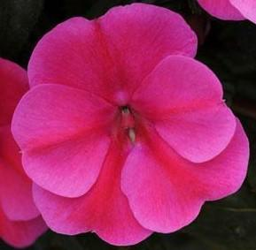 Impatiens 'Bounce Pink Flame'