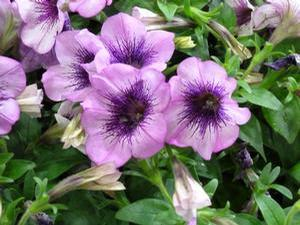 Petunia 'Sweetunia Grape Ice'