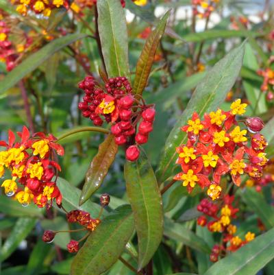 Asclepias curassavica 'Silky Deep Red SUB Red Butterfly'