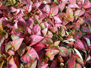Hypoestes phyllostachya 'Splash Select Red'