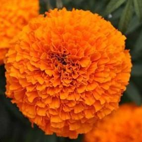 Marigold 'Garland Orange'