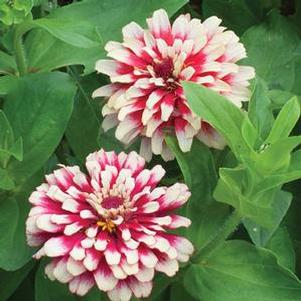 Zinnia elegans 'Hidden Dragon'
