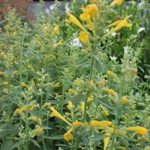 Agastache 'Arizona Sun'