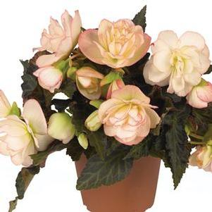 Begonia 'I'Conia Miss Montreal'