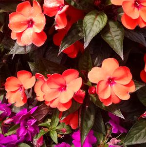Impatiens 'Sun Harmony Orange'