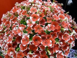 Petunia 'Peppy Red'