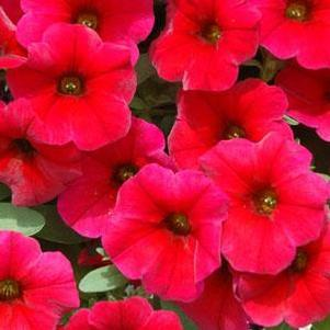 Petunia 'Supercal® Cherry Improved'