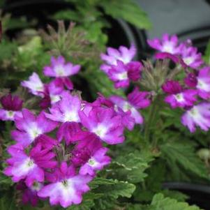 Verbena 'Wicked Great Grape'