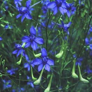 Larkspur consolida 'Blue Cloud'