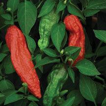 Pepper 'Ghost (Bhut Jalokia)'