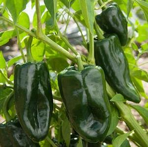 Pepper 'Poblano'