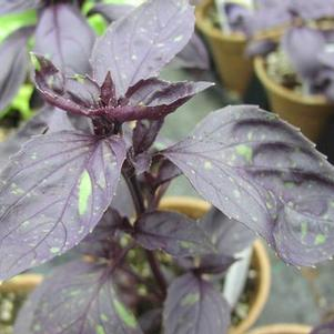 Basil 'Red Genovese'