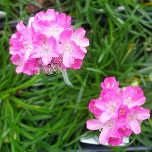 Armeria maritima 'Morning Star Deep Rose'