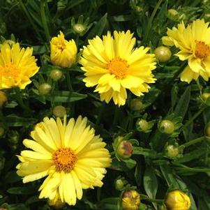 Coreopsis 'Leading Lady Lauren'