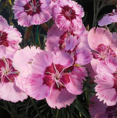 Dianthus 'Scent from Heaven™ Angel of Peace'
