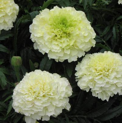 Marigold 'Sweet Cream'