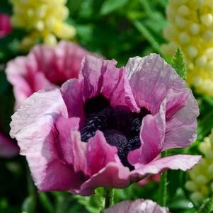 Papaver orientalis 'Plum Pudding'