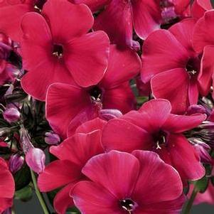 Phlox paniculata 'Peacock™ Cherry Red'