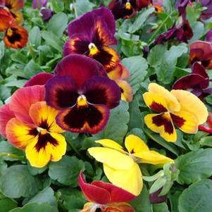 Pansy 'Wine Flash'
