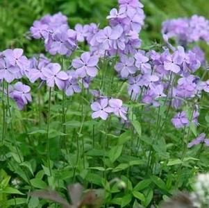 Phlox divaricata 'Blue Moon'