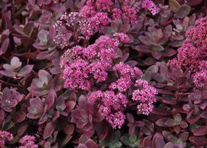 Sedum 'Sunsparkler® Firecracker'