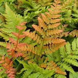 Dryopteris erythrosora 'Brilliante'