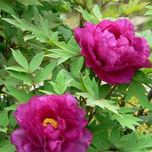 Peony, Tree suffruticosa 'Purple'
