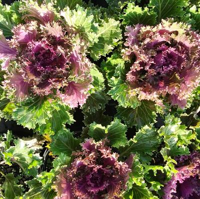 Flowering Kale 'Glamour Red'