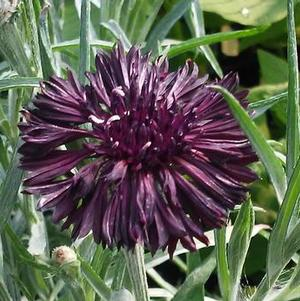 Centaurea 'Midnight'