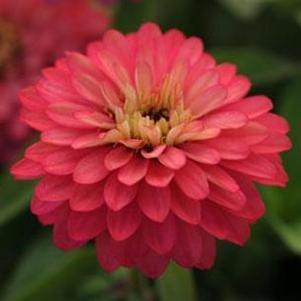 Zinnia marylandica 'Zahara Double Salmon Rose'