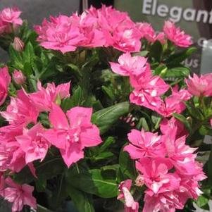 Catharanthus 'Soiree Double Pink'