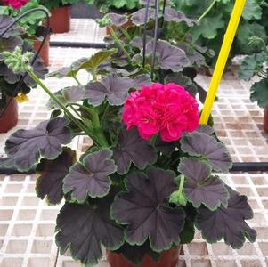 Geranium 'Brocade Cherry Night'