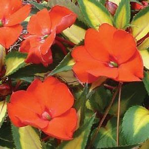 Impatiens 'Sunpatiens® Tropical Orange'
