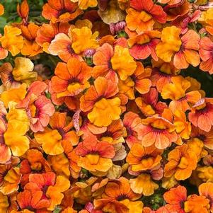 Nemesia 'Sunsatia™ Blood Orange'
