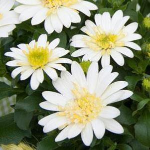 Osteospermum '4D™ Lemon Ice'