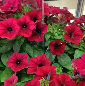 Petunia 'Easy Wave® Red Velour'