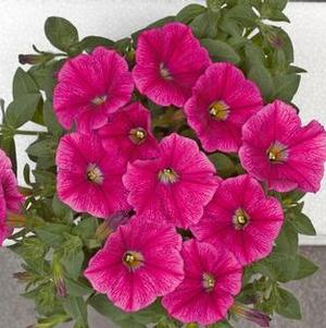 Petunia 'Fortunia Rose Gem'