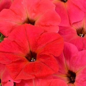 Petunia 'Hells® Fruit Punch'