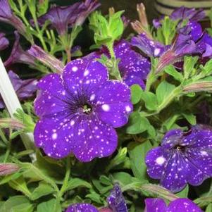 Petunia 'Headliner™ Night Sky'