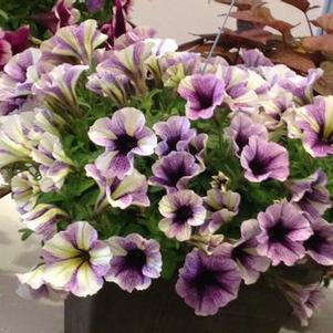 Petunia 'Potunia® Blueberry Muffin'