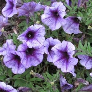 Petunia 'Potunia® Plus Denim'
