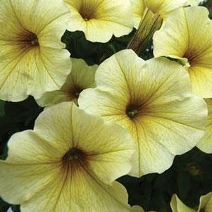 Petunia 'Supercal® Light Yellow'