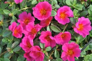 Portulaca 'Cupcake Grape Jelly'