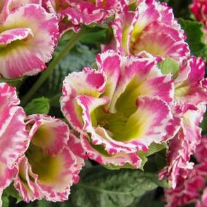 Primula 'Party Girl™ Mixer'