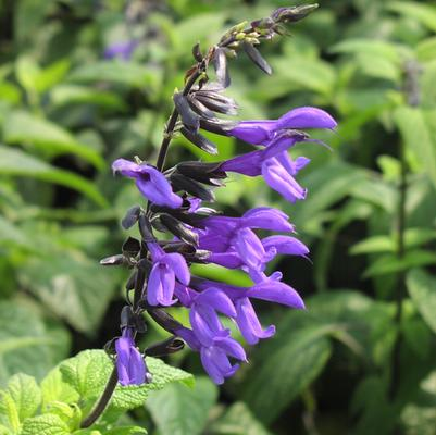 Salvia guaranitica 'Black and Bloom'