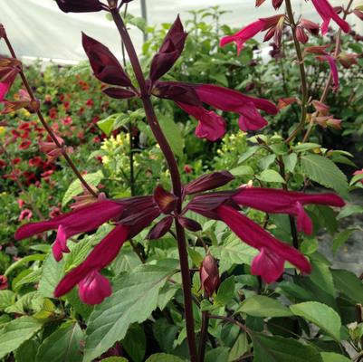 Salvia hybrid 'Love and Wishes'