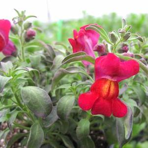 Snapdragon 'Fruit Salad Cranberry'