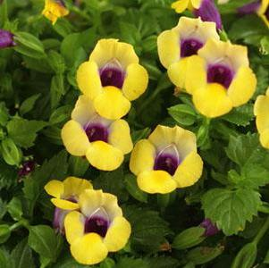 Torenia 'Summer Wave® Bouquet Gold'